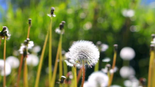 Dandelion field in pyrenees prairie
