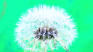 Dandelion flower blooming in a time lapse Hd 1080 video. Common dandelion seed, Taraxacum officinale growing in motion.