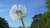 Dandelion in the wind close-up.