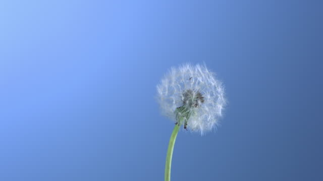 CU SLO MO Dandelion puff blowing in wind / New York City, New York, USA