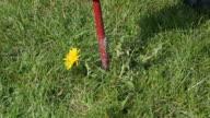 Dandelion removal
