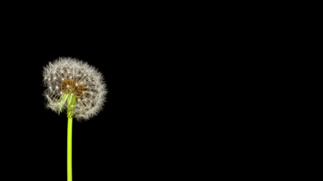Dandelion Seeds Being Blown