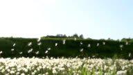 HD SUPER SLOW MO: Dandelion Seeds