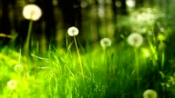 Dandelions and grass (loopable)
