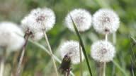 Dandelions swaying in breeze
