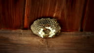 Dangerous European Wasp Nest