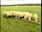 Dangers of BSE in sheep LIB Sheep eating from trough Sheep in field BV Sheep eating from trough Sheep along in pen