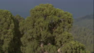 Dark clouds drift behind the top of a tall redwood tree. Available in HD.