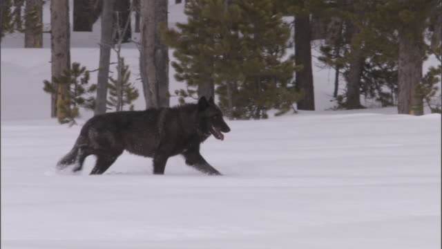 Dark grey wolf (Canis lupus) trudges over snow, Yellowstone, USA