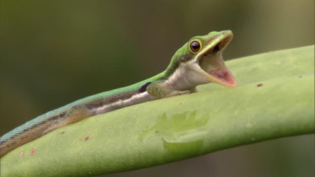 Day gecko (Phelsuma) gapes on pitcher plant leaf (Nepenthes), Madagascar