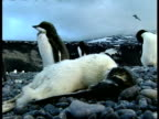 MS dead Adelie Penguin, Pygoscelis adeliae, in foreground, Antarctica