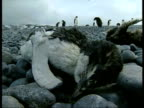 MS dead Adelie Penguin, Pygoscelis adeliae, on rocky ground, edited sequence, Antarctica