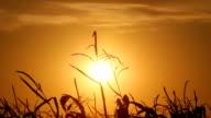 Dead Corn Fiel At Sunset HD