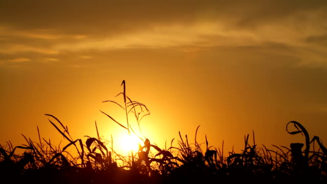 Dead Corn Field HD