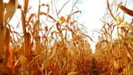 Dead Corn Field Moving Row HD