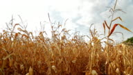 Dead Corn Field Pan HD
