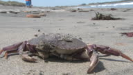 Dead crab - HD 30F