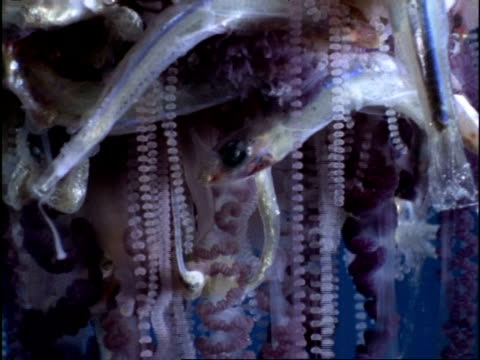 CU Dead fish caught in tentacles of Portuguese Man of War Jellyfish (Physalia physalis), Bermuda