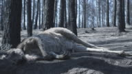 MS Dead kangaroo in forest after wildfire / Victoria, Australia