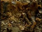 CU dead mammal decomposing on ground, Western Ghats, India