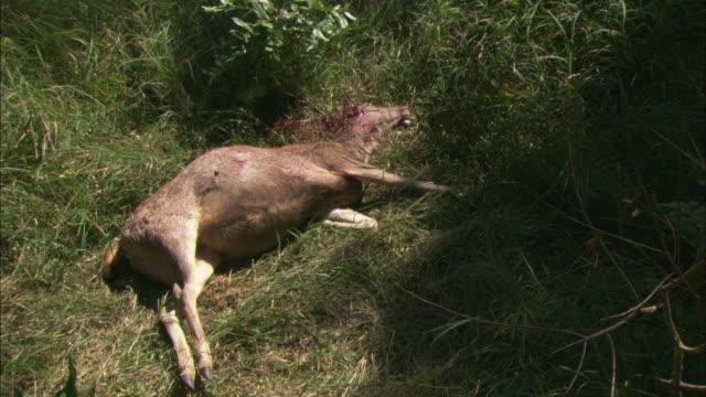 A dead sambar deer lies in a forest.