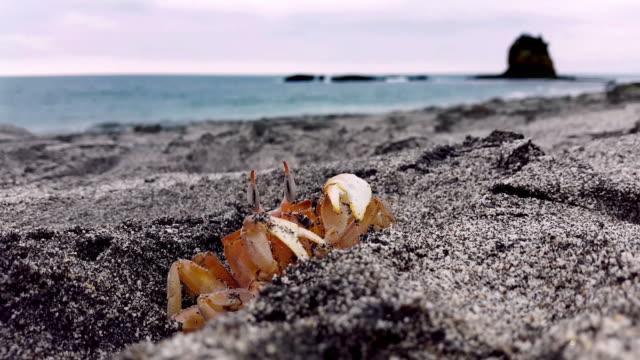 deaf crab red crab in the sand in ecuador los frailes