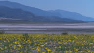 Death Valley Desert Pan of Flowers and Mountains