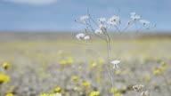 Death Valley Super Bloom Closeup