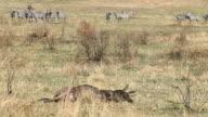 Death Wildebeest and Zebras