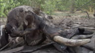 Decaying elephant carcass, Botswana