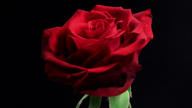Ruttnande rose i svart backgroud 4K