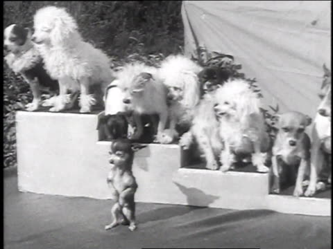 December 9, 1935 MONTAGE Small dogs performing / Venice, California