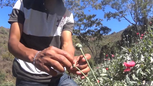 Deep in the southern mountains of Mexico the cicada like tsktsktsk of a water sprinkler broke the eerie silence as it sprayed a small parcel of opium...