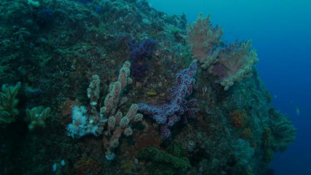 Deep sea soft coral, Izu, Japan