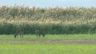 Deer and Cattle in Lake Neusiedl