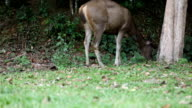 deer eating grass in forest