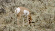 MS Deer grazing and walking on grassy land / Yellowstone National Park, Wyoming, United States