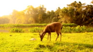 Deer grazing in field