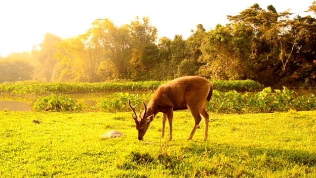 Deer grazing in field