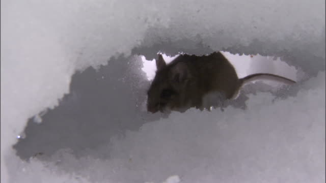 Deer mouse (Peromyscus maniculatus) digs tunnel under snow, Yellowstone, USA