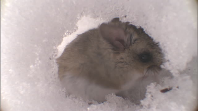 Deer mouse (Peromyscus maniculatus) grooms in tunnel under snow, Yellowstone, USA
