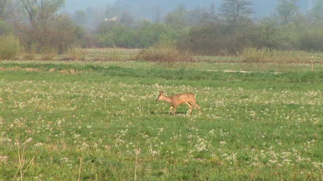 HD: Deer
