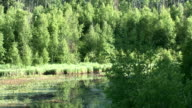 A deer wades through a pond in the northern wilderness, Canada. Available in HD.