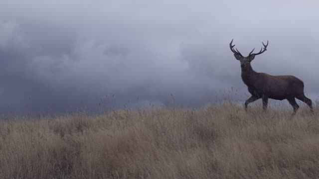 WS Deer walking through tussock grass, stormy grey clouds in background / South Island, New Zealand
