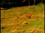 A deer walks away from another deer resting in a field.