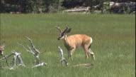 A deer walks through a grassy field.