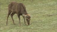 Deer-cracker throwing contest / Mt. Wakakusa