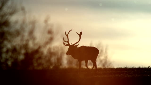 Deers and sunset