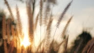 Defocus sunset with Golden grass field sunshine