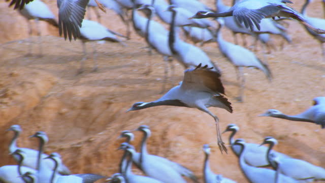 SLO MO MS Demoiselle crane flying and gliding over river bank PAN left and TD with it as it lands in group with other cranes passing through frame